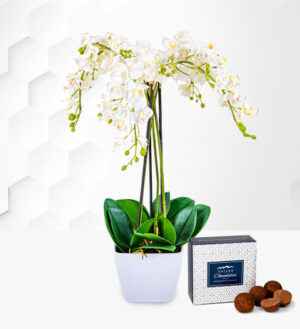 Potted Phalenopsis Orchid - Free Chocs